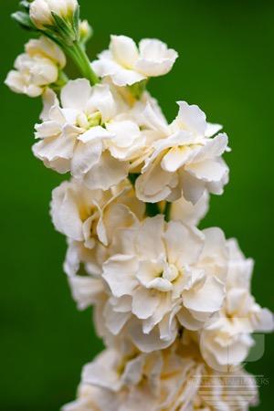 Waxflower
