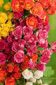 Spray Rose